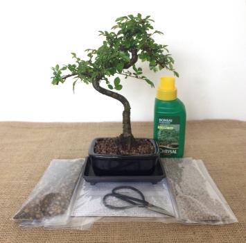 Chinese Elm Ulmus Parvifloria Care Guide