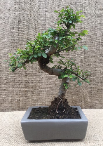 Chinese Elm Ulmus Parvifolia Shaped Style Bonsai Tree Che 15s