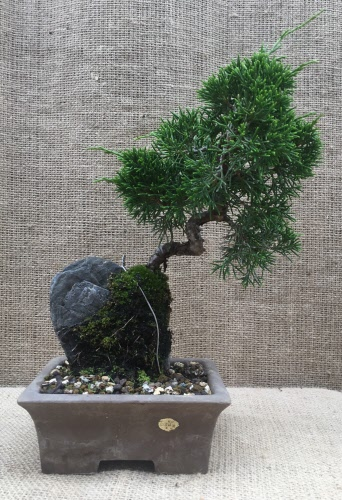 Juniper Itoigawa Root Over Rock Bonsai Tree No35 Itot 23