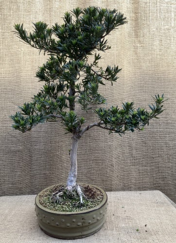 Large Podocarpus Bonsai Tree Pod 12